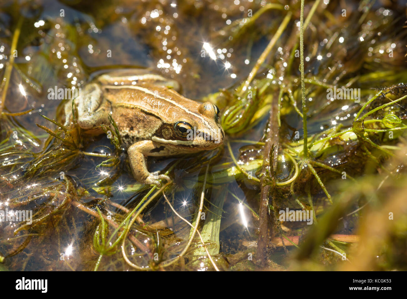 A wood frog, Lithobates sylvaticus, sitting on top of aquatic macrophytes in a small pond in central Alberta - Stock Image