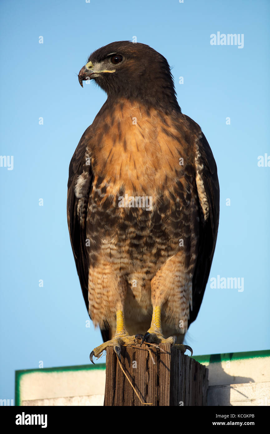 Red Tailed Hawk Perched Red Tailed Hawk Perche...