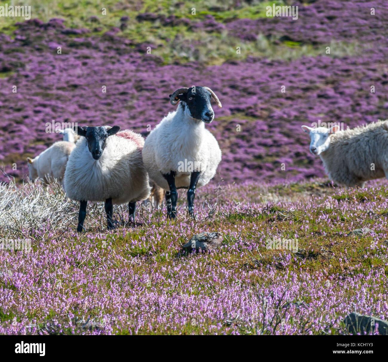 Swaledale Ewe and lamb on North Yorkshire Moors - Stock Image