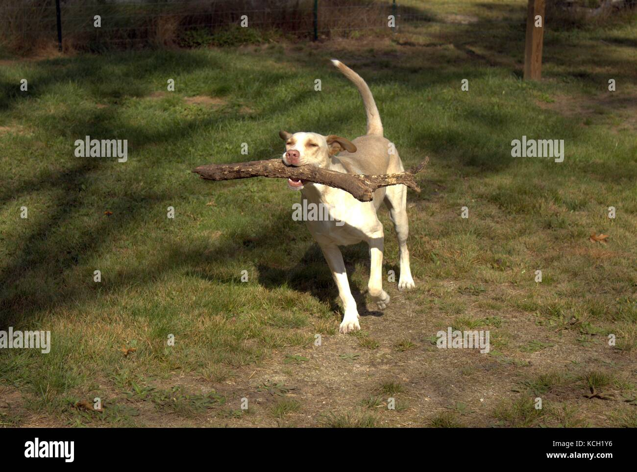 Young Dog Running With A Tree Limb In His Mouth - Stock Image