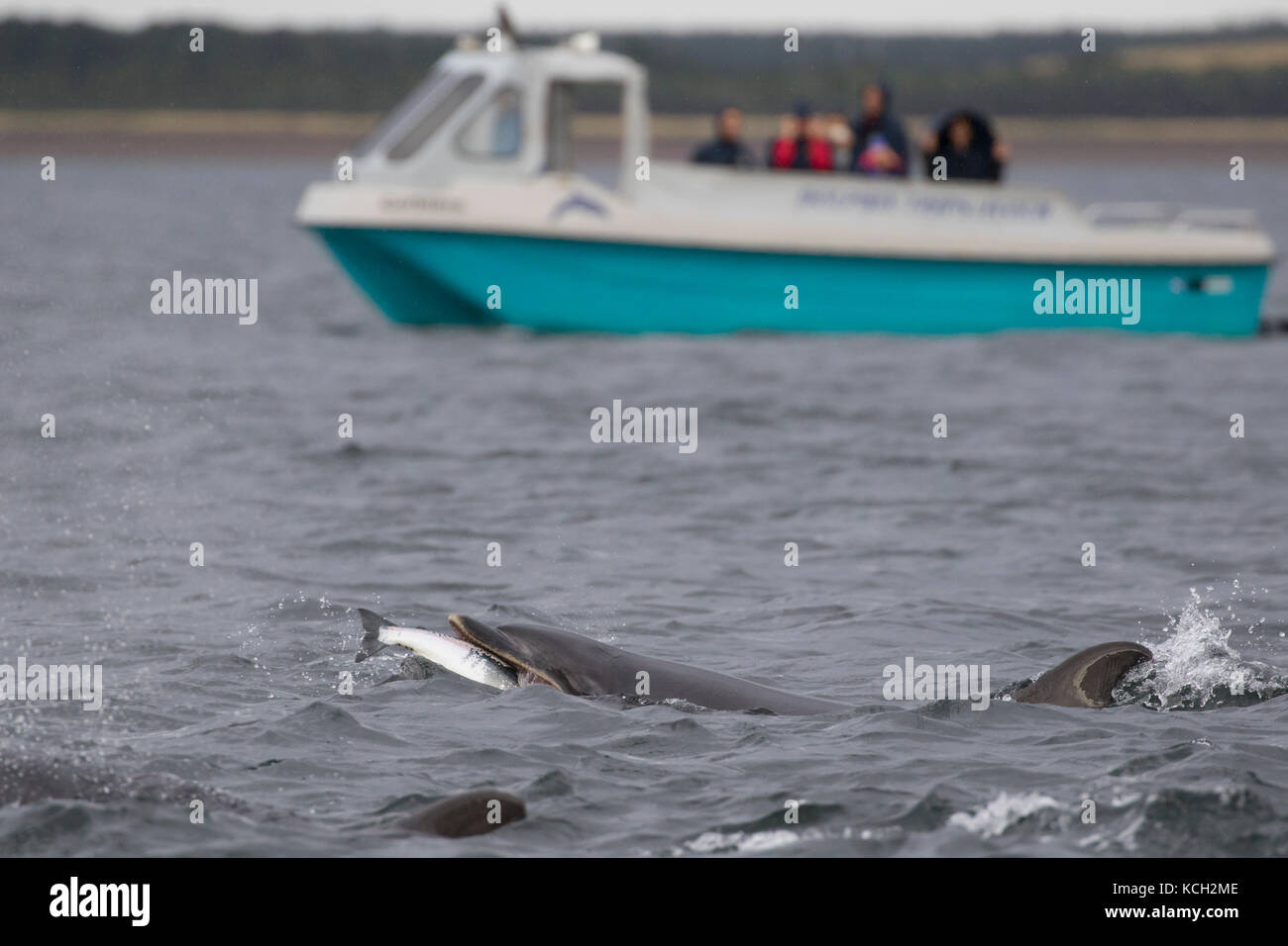 Bottlenose dolphin (Tursiops truncatus) eating a fish in the Moray Firth with a dolphin watching boat in the background, - Stock Image