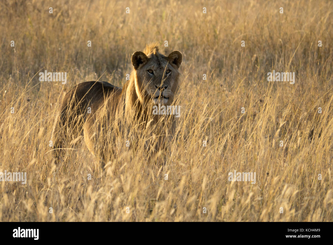 This young male lion is calling for his pride to gather in the after a night of prowling. His huff-roars kept me - Stock Image