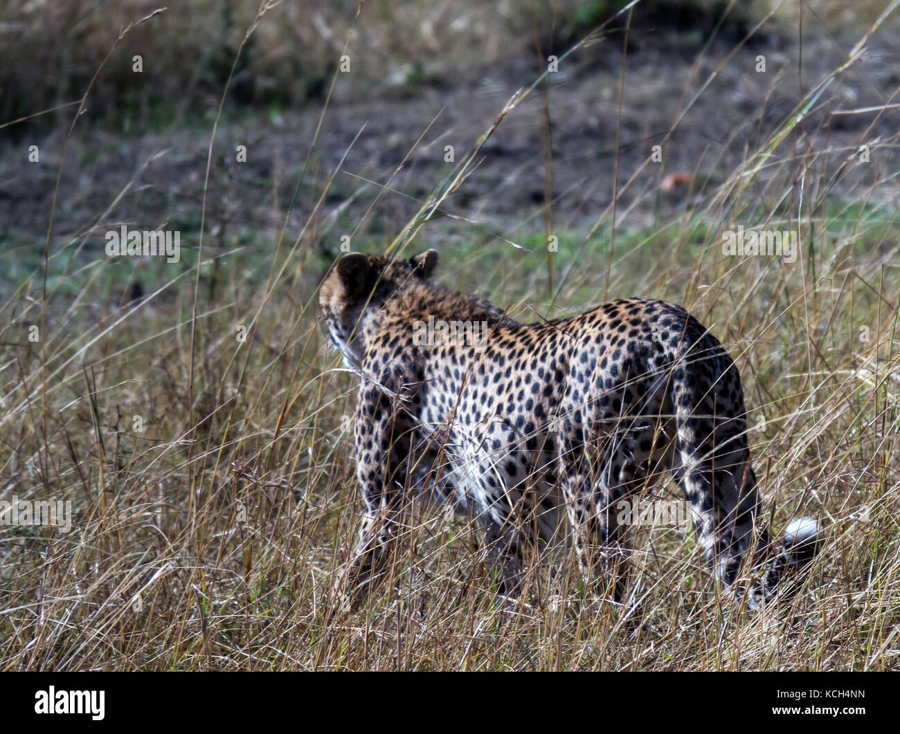 The Cheetah is the fastest land mammal. This cheetah is obviously pregnant, and was looking for a quiet shady space - Stock Image