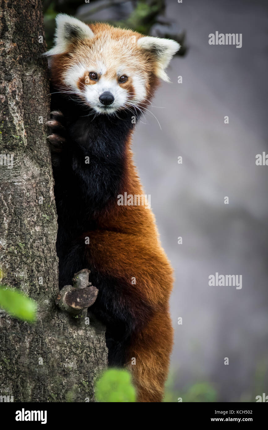 Red dwarf Chinese  panda - Stock Image