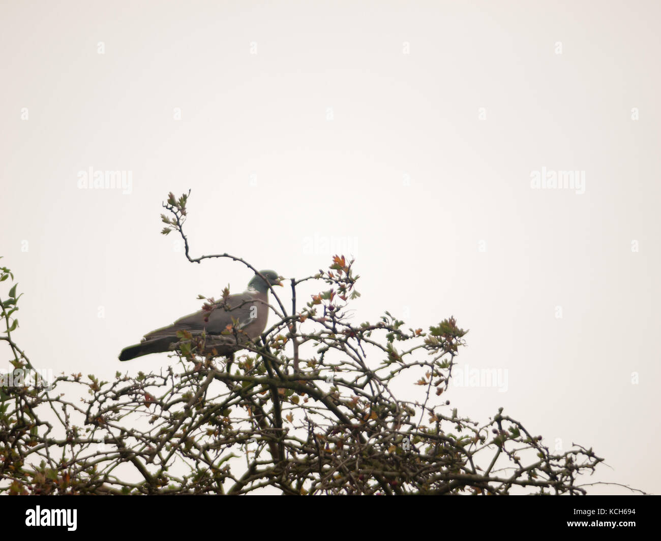 single pigeon sat in tree tops with overcast sky background; essex; england; uk - Stock Image