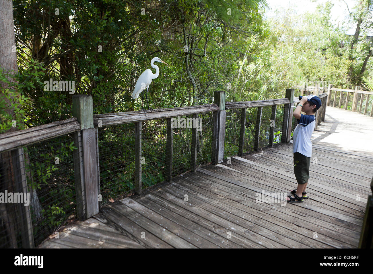 Child, 8 years old, observing a wild Great Egret bird (Ardea alba) - Florida USA - Stock Image