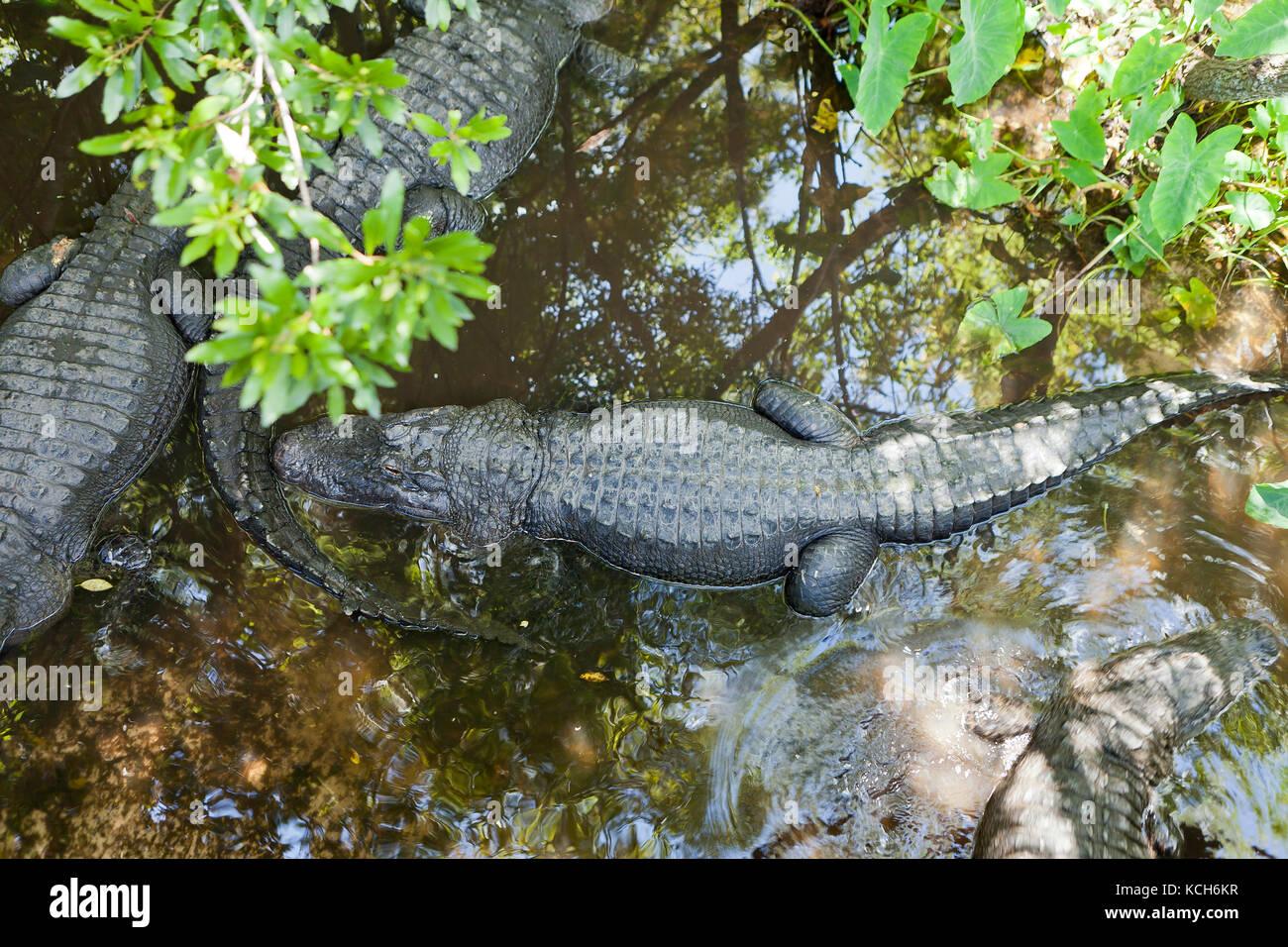 Adult American alligators (Alligator mississippiensis) basking in sun at Gatorland - Orlando, Florida USA - Stock Image