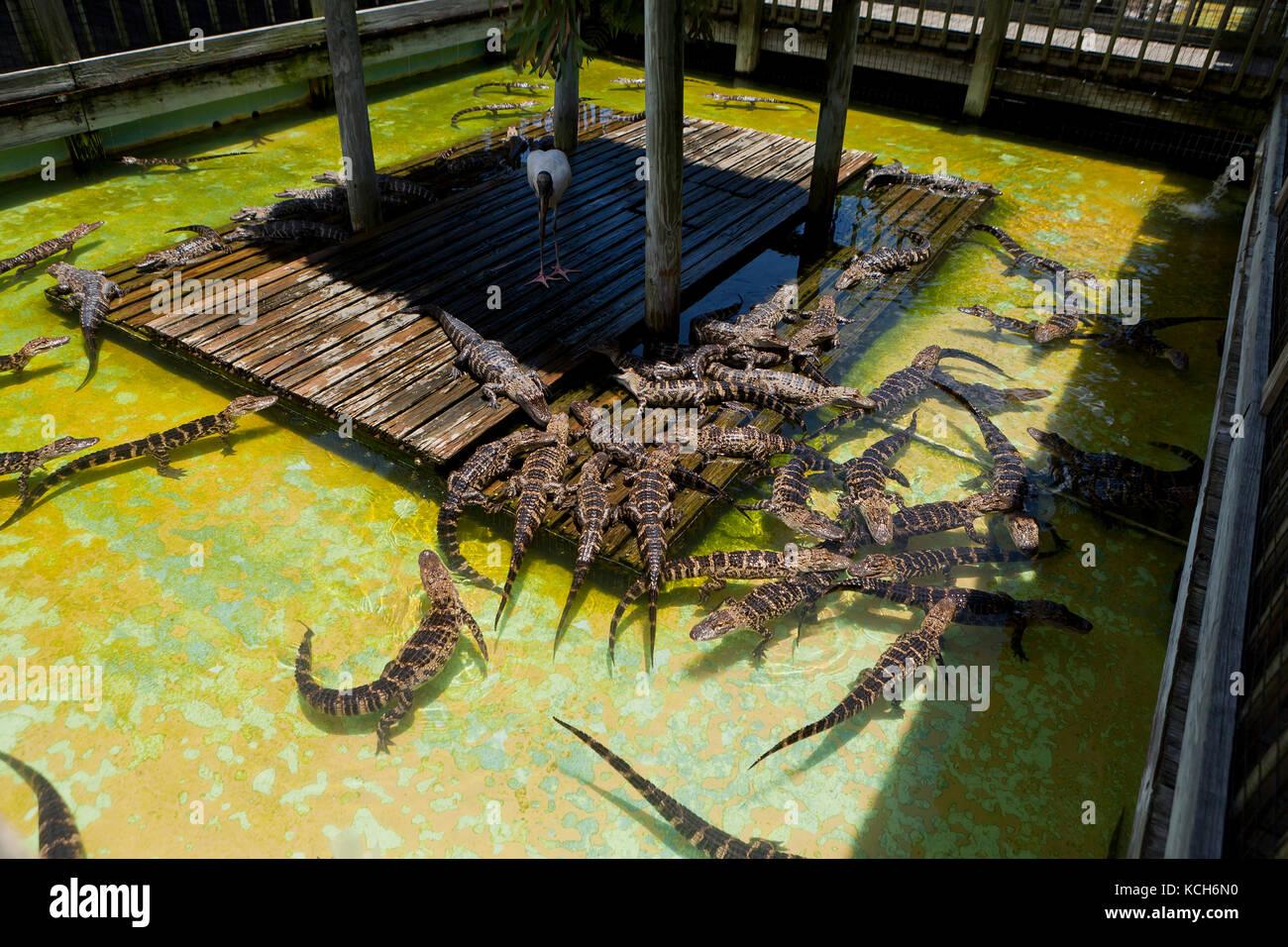 Juvenile American alligators (Alligator mississippiensis) basking in sun at Gatorland - Orlando, Florida USA - Stock Image