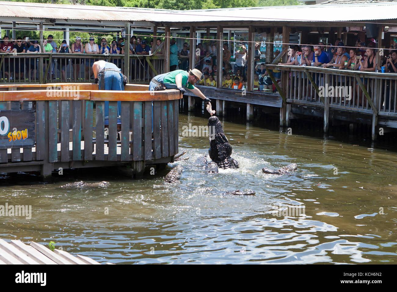 Alligators being fed at Gator Jumparoo Show, Gatorland - Orlando, Florida USA - Stock Image