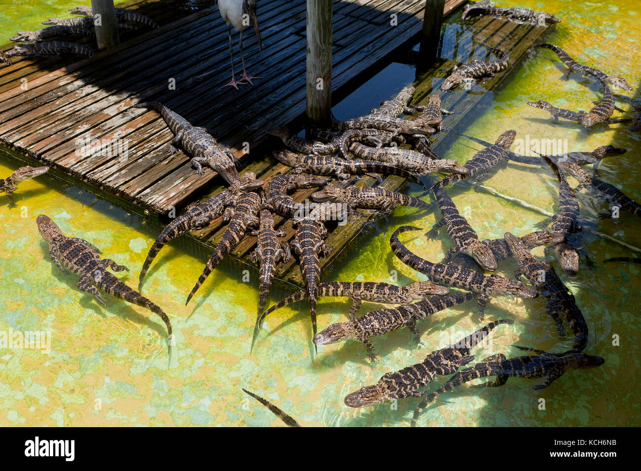 Juvenile American alligators (Alligator mississippiensis) basking in sun at Gatorland - Orlando, Florida USA - Stock Image