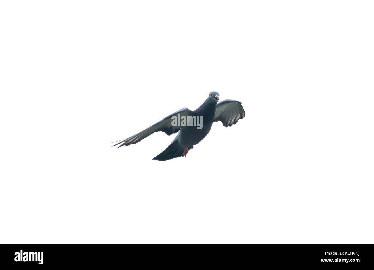 pigeon flying in the sky with full speed racing game sport coming back with stretched wings feral green blue bar - Stock Image