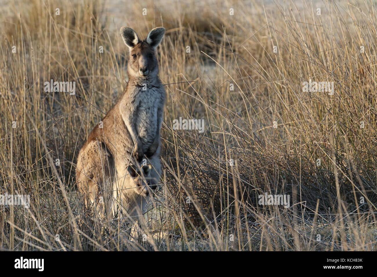 eastern grey kangaroo with pouch joey - Stock Image