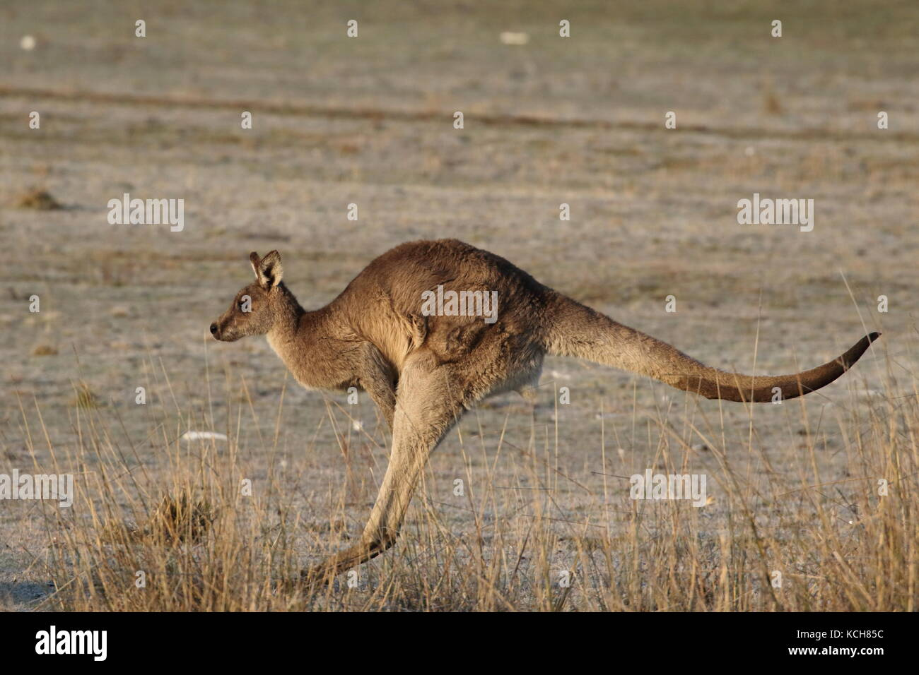 eastern grey kangaroo hopping across a field - Stock Image