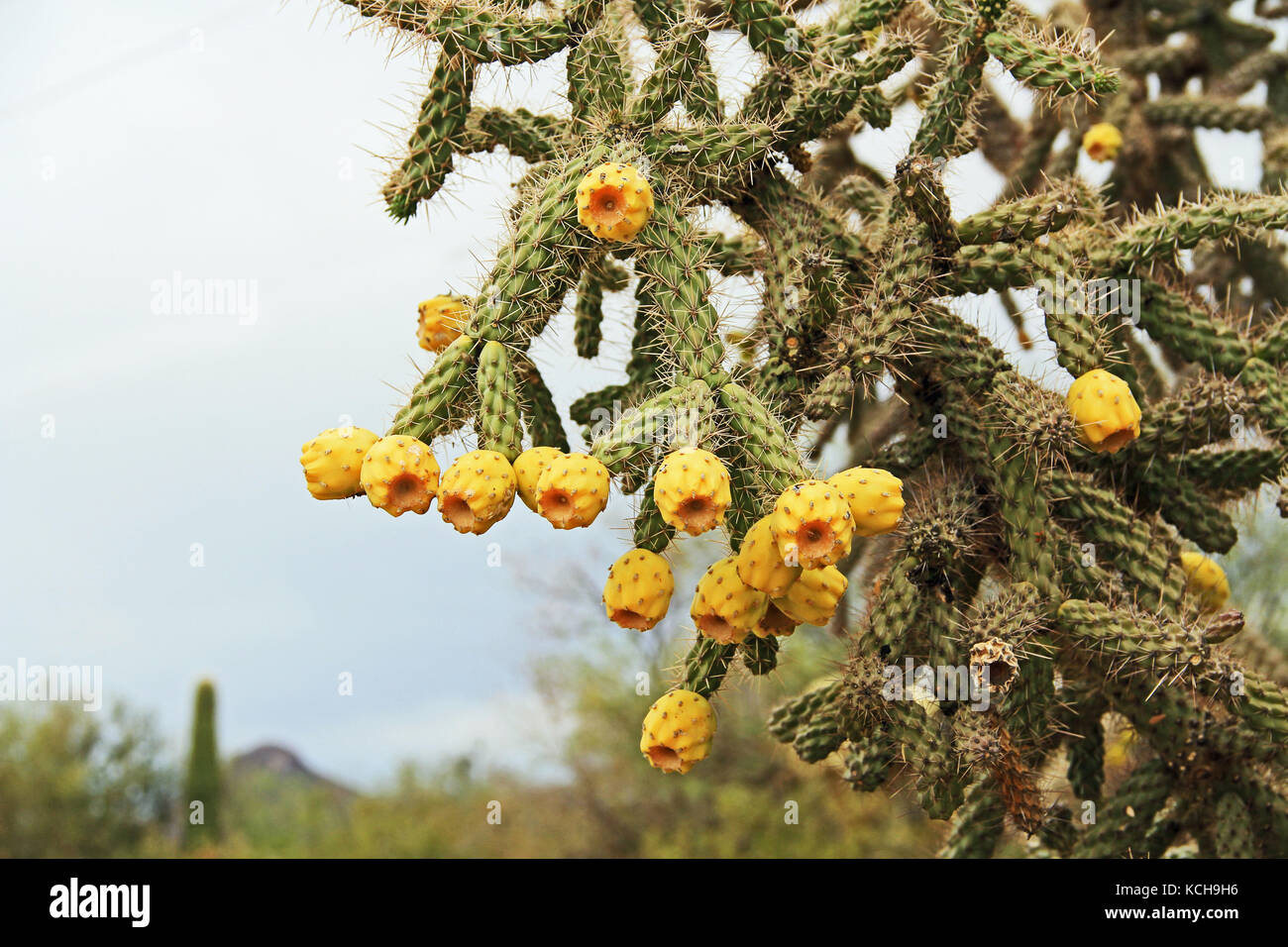 Yellow Fruit on a Cane Cholla in the Sonoran Desert - Stock Image