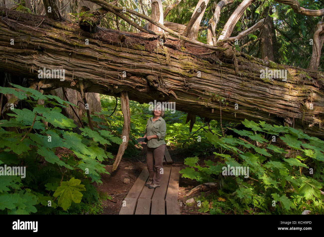 Woman walking on trail at The Ancient Forest Trail outside Prince George, BC, Canada. Inland Rain Forest, Western Stock Photo