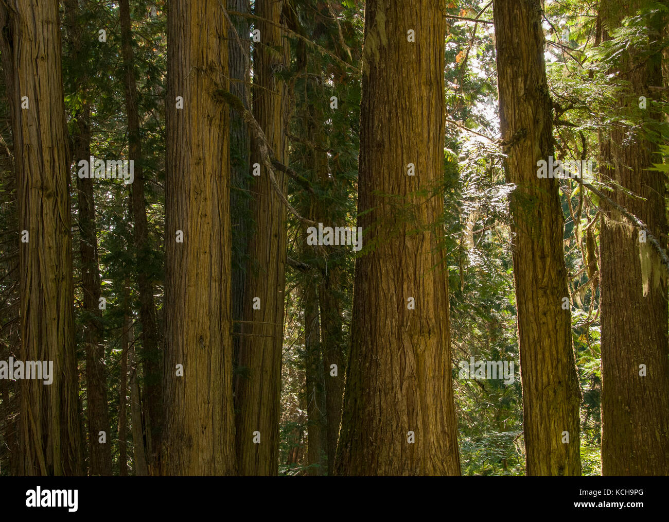 Inland Rain Forest, Western Red Cedar (Thuja plicata), The Ancient Forest Trail outside Prince George, BC, Canada - Stock Image