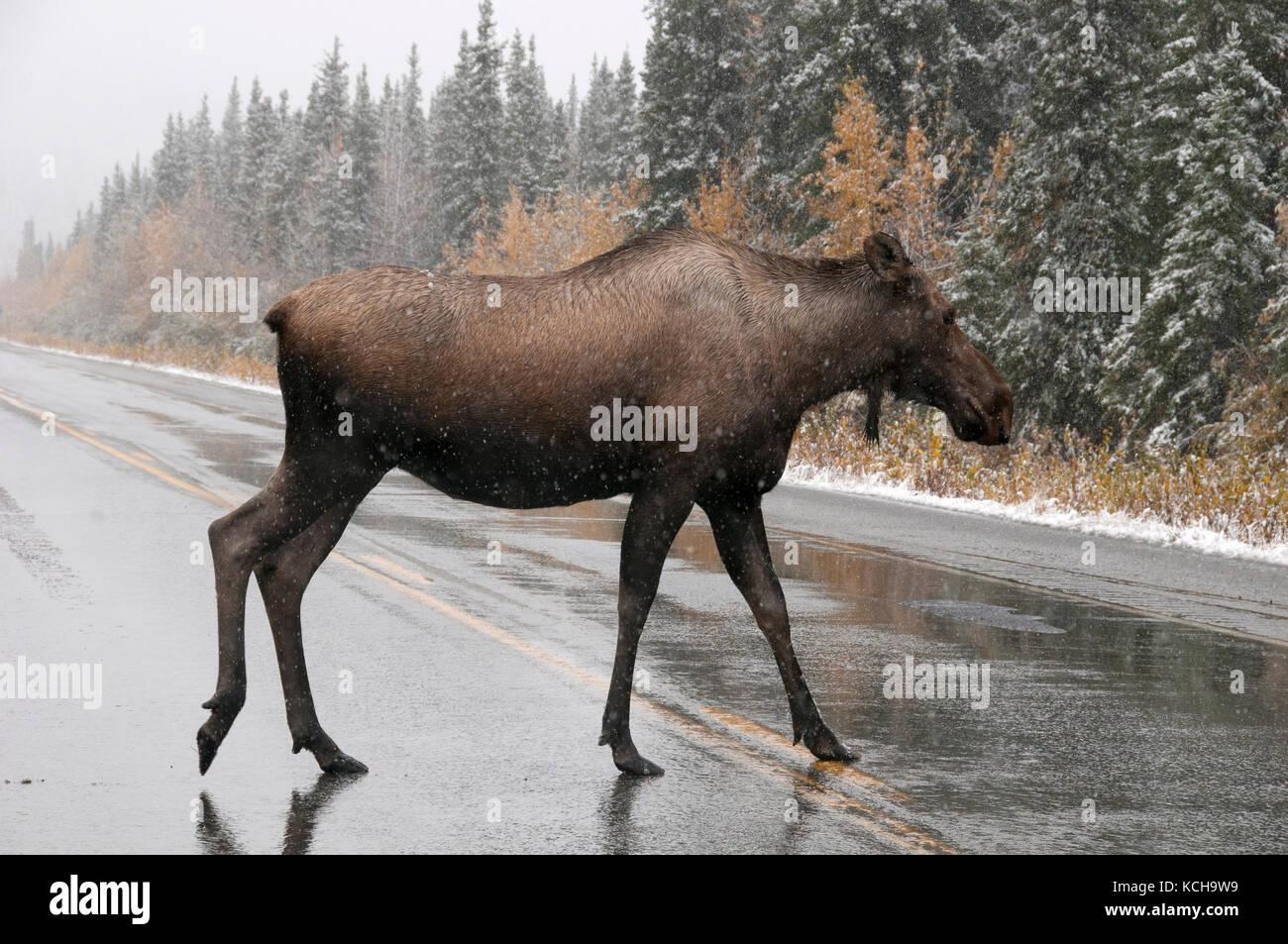Cow Moose (Alces alces) crossing wet, icy highway in first snows of winter season.  Alaska Hwy, Alaska. - Stock Image