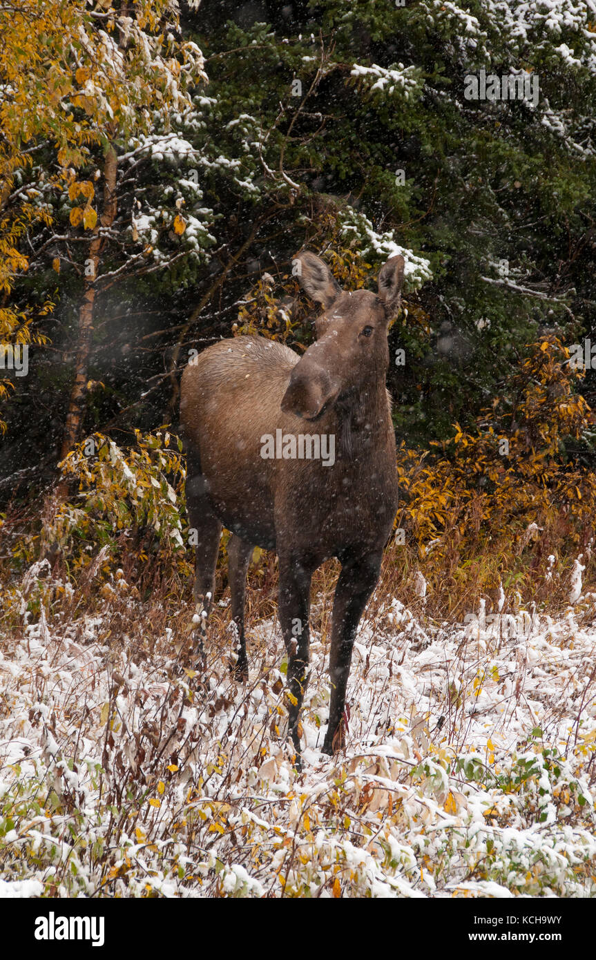 Cow moose standing in autumn vegetation with first snows starting to fall. (Alces alces). Alaska, North America. - Stock Image