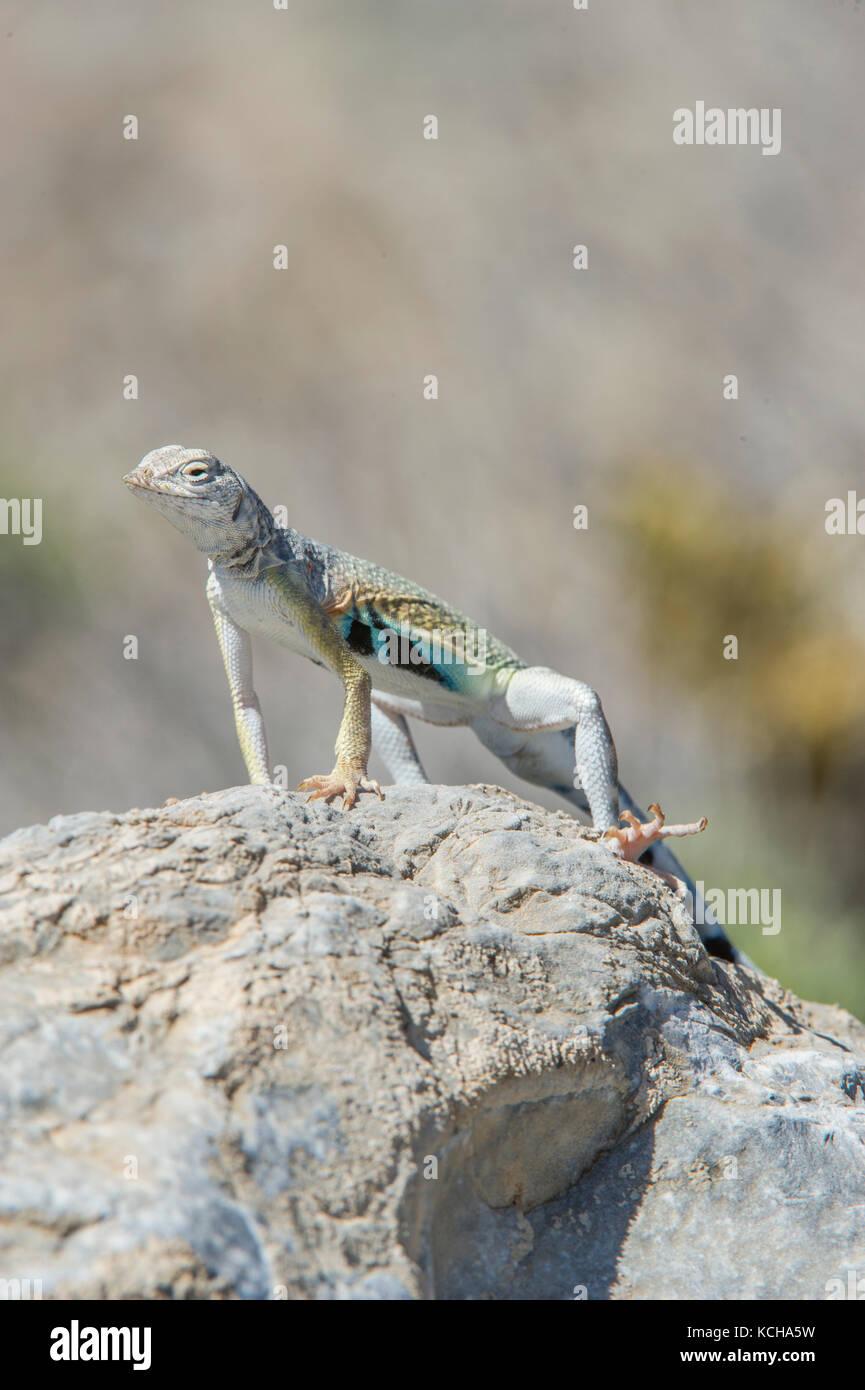 Zebra-tailed Lizard, Callisaurus draconoides in Nevada desert, USA Stock Photo