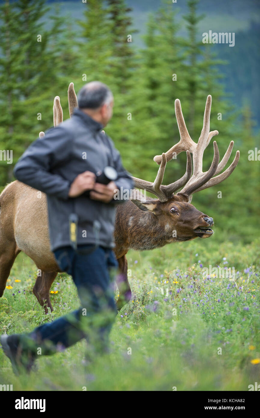 Rocky Mountain Elk Cervus, canadensis nelsoni with careless photographer in the foreground Canadian Rockies, ALberta, - Stock Image