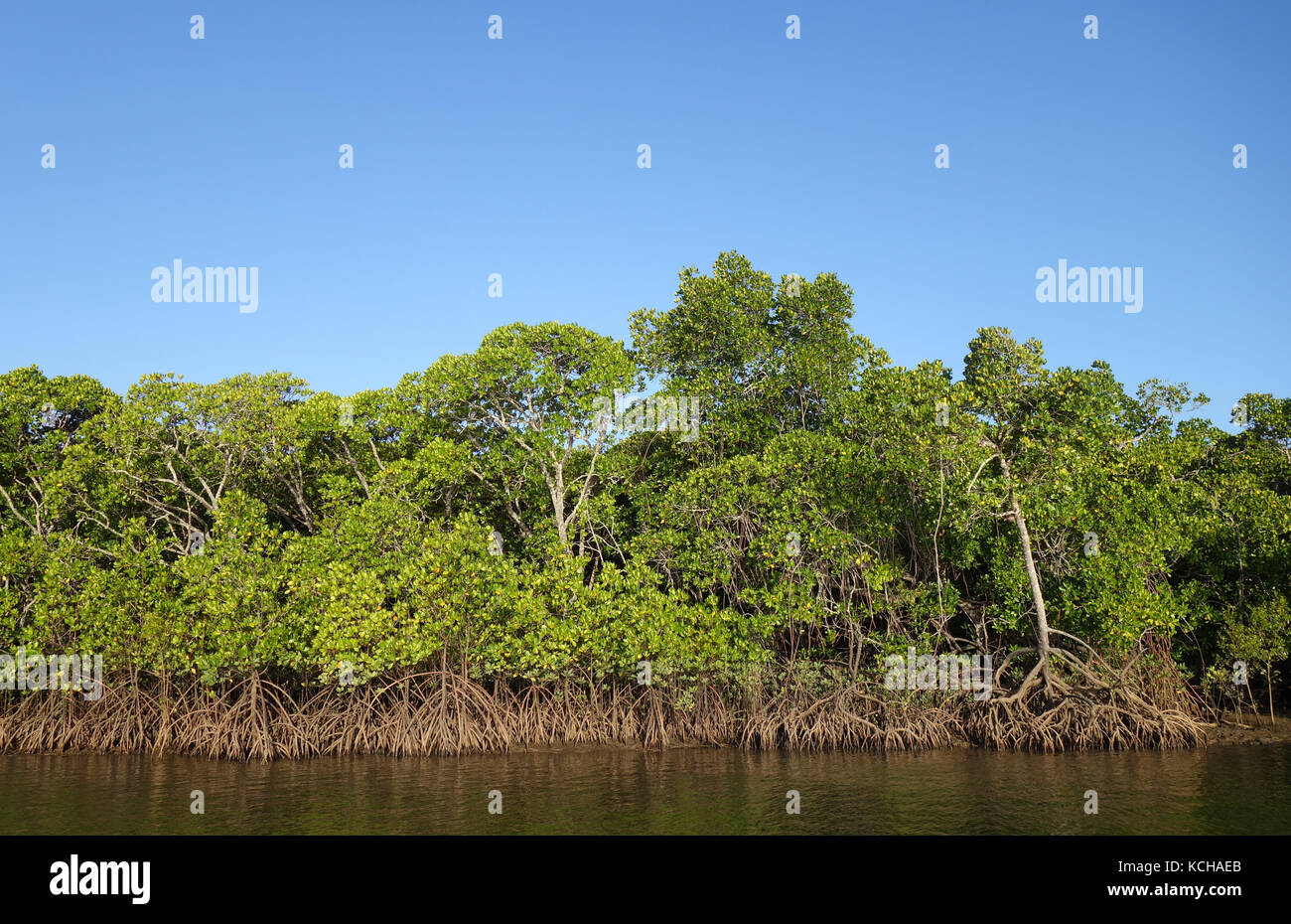 Healthy red mangroves (Rhizophora manglesi) in Trinity Inlet, Cairns, Queensland, Australia - Stock Image