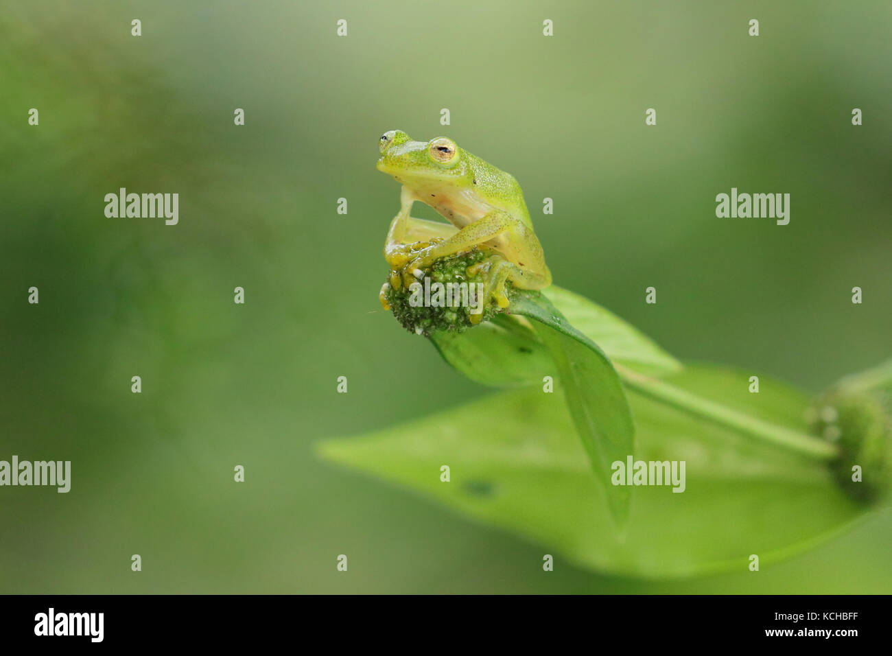 Glass Frog perched on a branch in Costa Rica - Stock Image