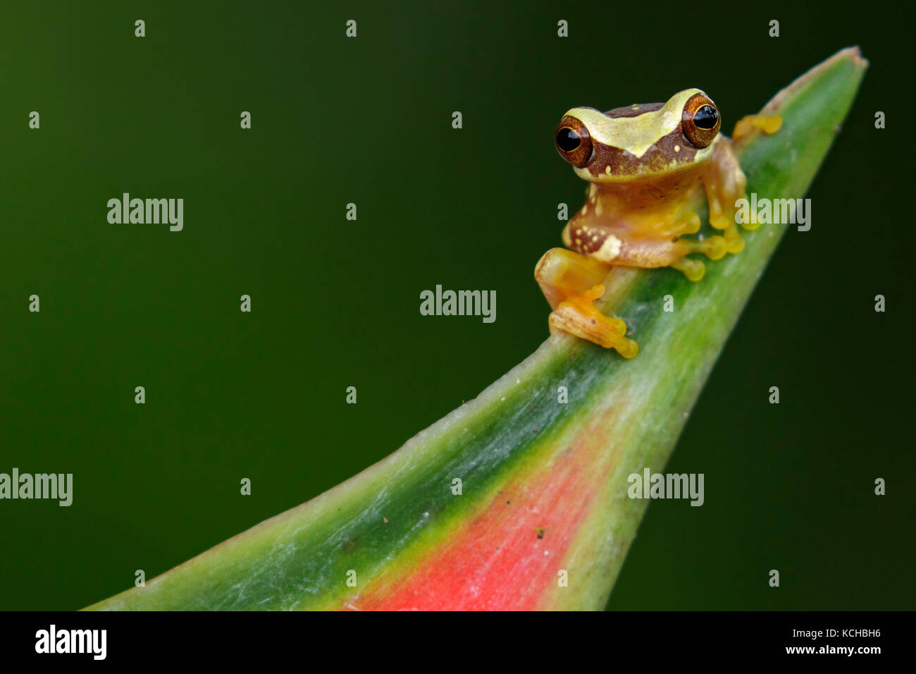 Hourglass Frog perched on a branch in Costa Rica. - Stock Image