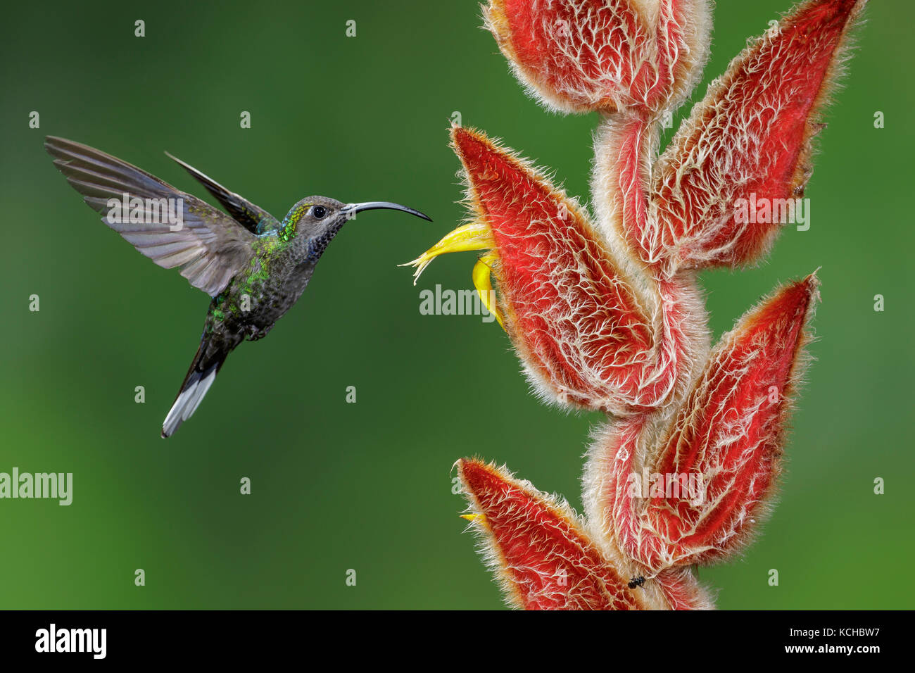 Violet Sabrewing (Campylopterus hemileucurus) flying and feeding at a flower in Costa Rica. Stock Photo