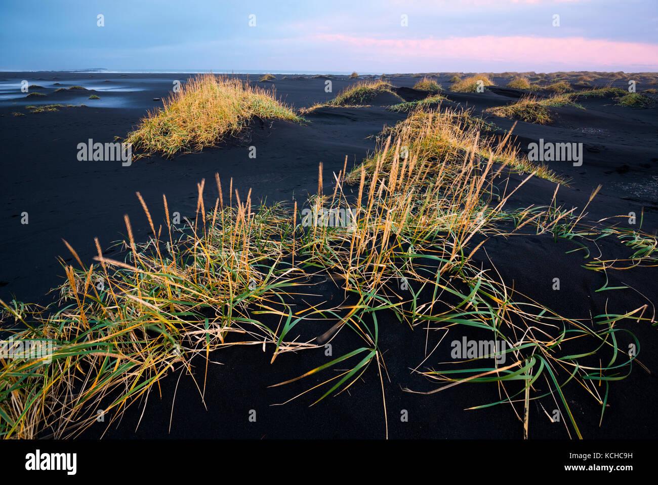 Tufts of Grass on a Black Sandy Beach, Stokksnes, Iceland - Stock Image