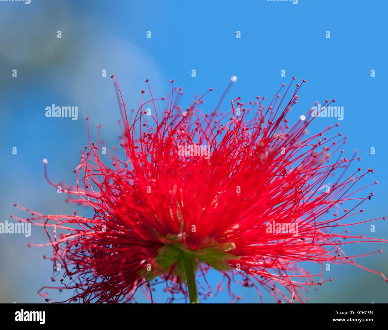 Close Up Crimson Blossoms Of Flower Of Metrosideros Excelsa Also