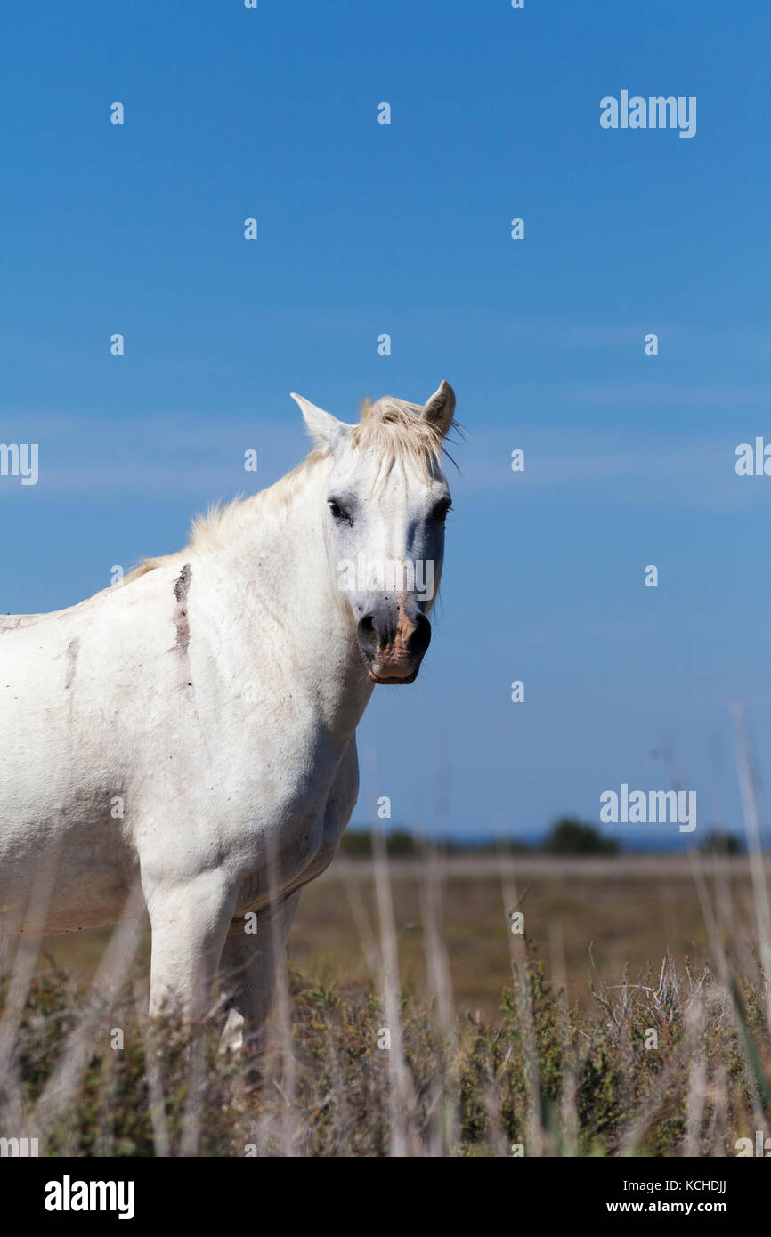 France, Carmargue region, a wild Carmargue horse - they run free and wild througout the region. - Stock Image