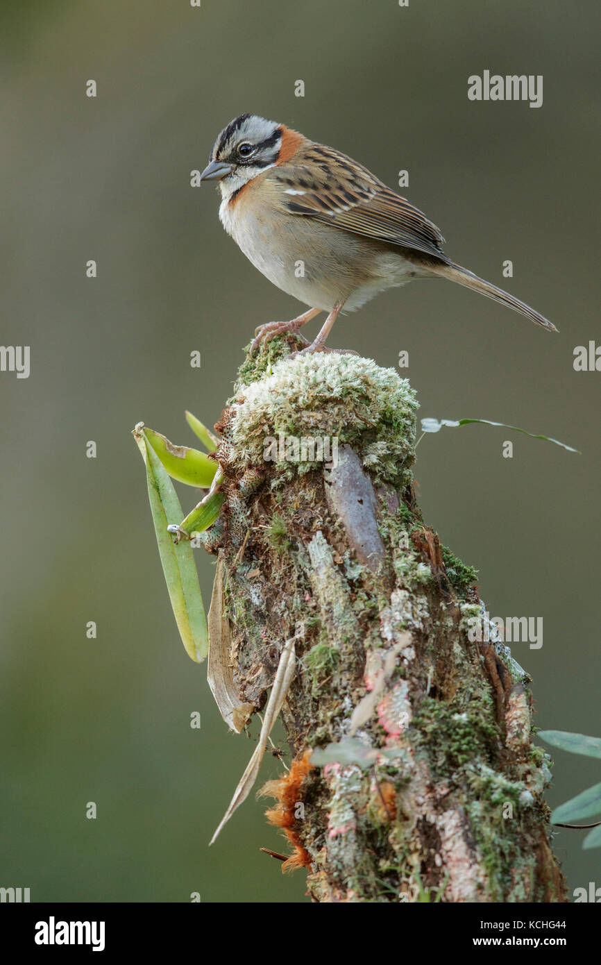 Rufous-collared Sparrow (Zonotrichia capensis) perched on a branch in the Atlantic Rainforest Region of Brazil. Stock Photo