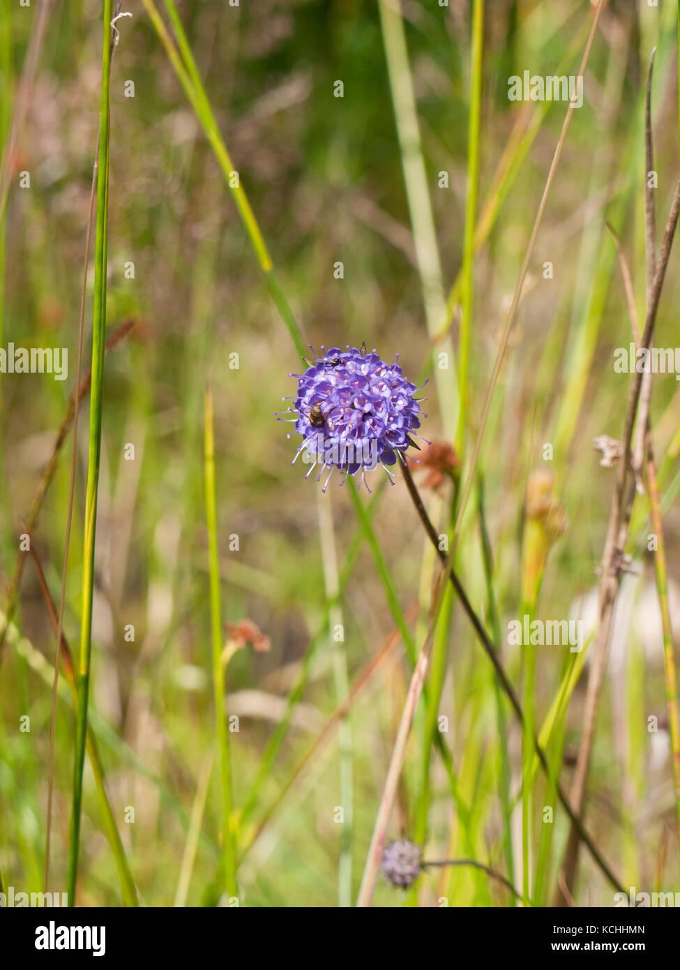 Devil's-bit scabious (Succisa pratensis) flowering on Rannoch Moor, Scottish Highlands - Stock Image