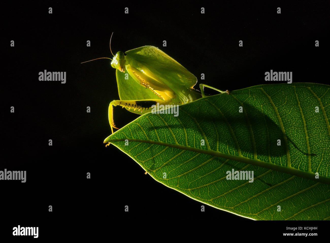 A Sheild mantis (Choeradodis sp.) on a leaf at night, Ecuador - Stock Image