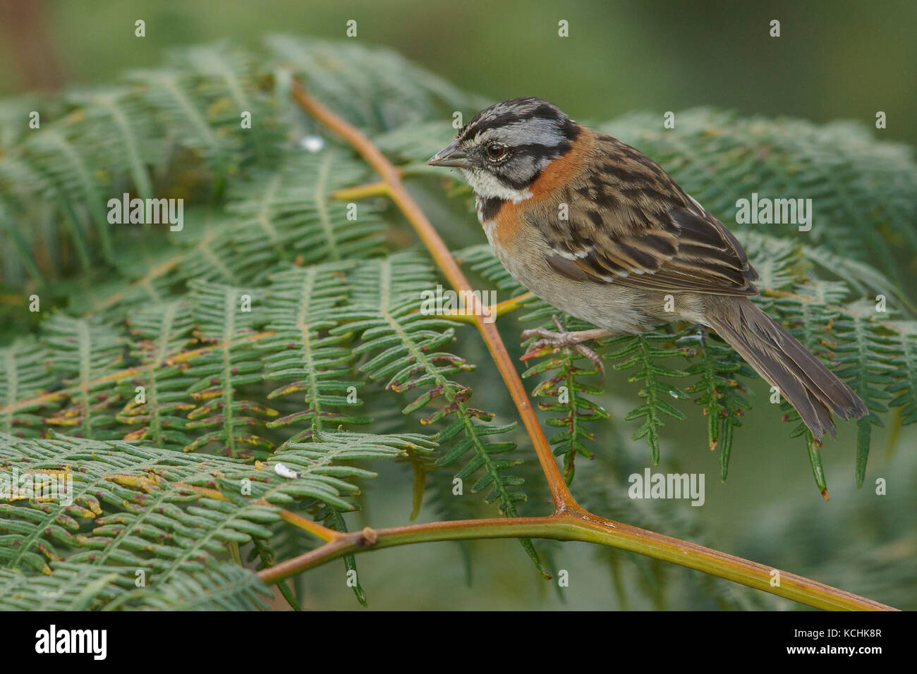 Rufous-collared Sparrow (Zonotrichia capensis) perched on a branch in the mountains of Colombia, South America. Stock Photo