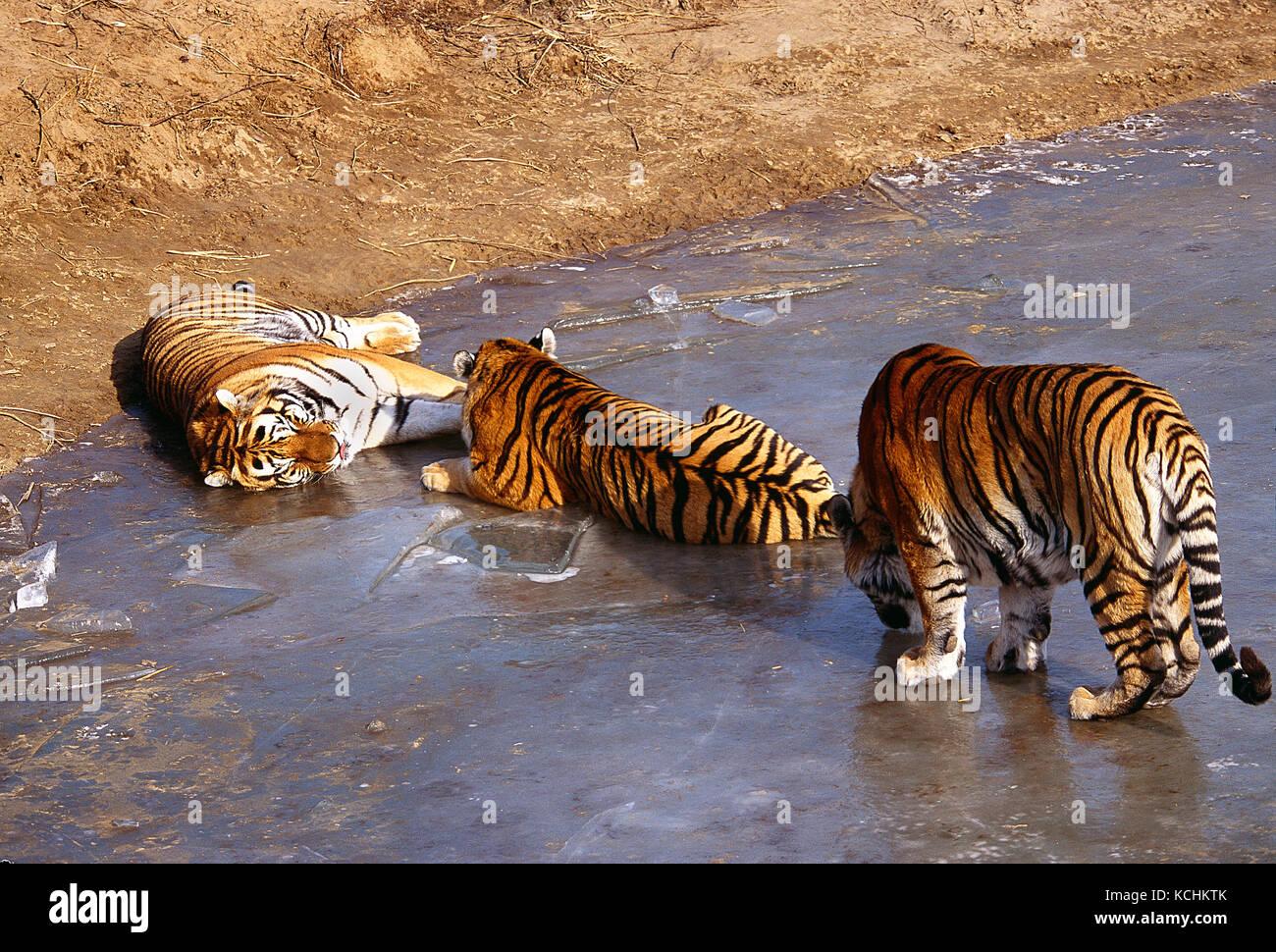 Russia, Siberia / China borders. Wildlife. Three North East China Tigers lying on frozen lake. - Stock Image