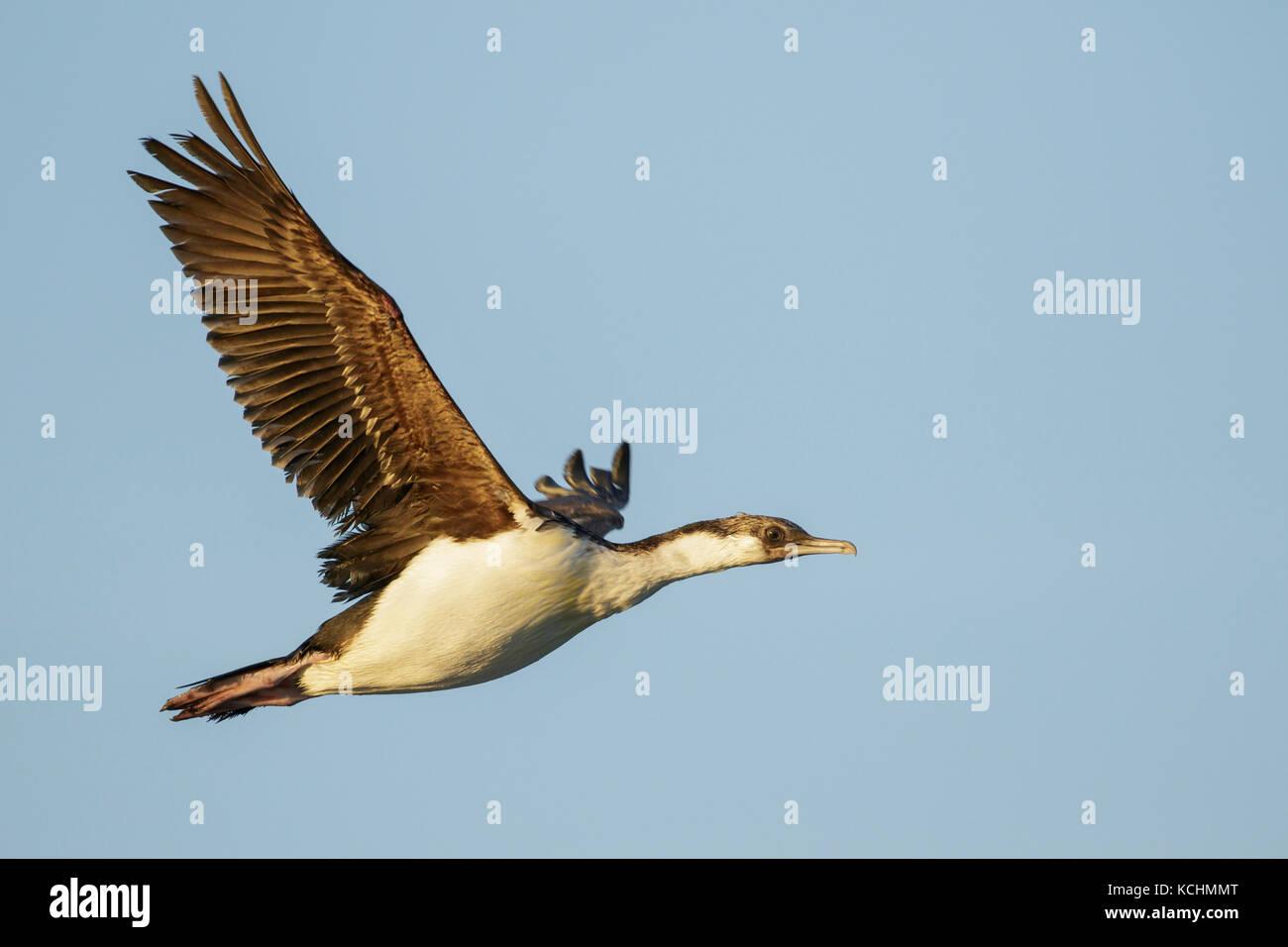 South Georgia Shag (Phalacrocorax georgianus) flying over the ocean searching for food near South Georgia Island. - Stock Image