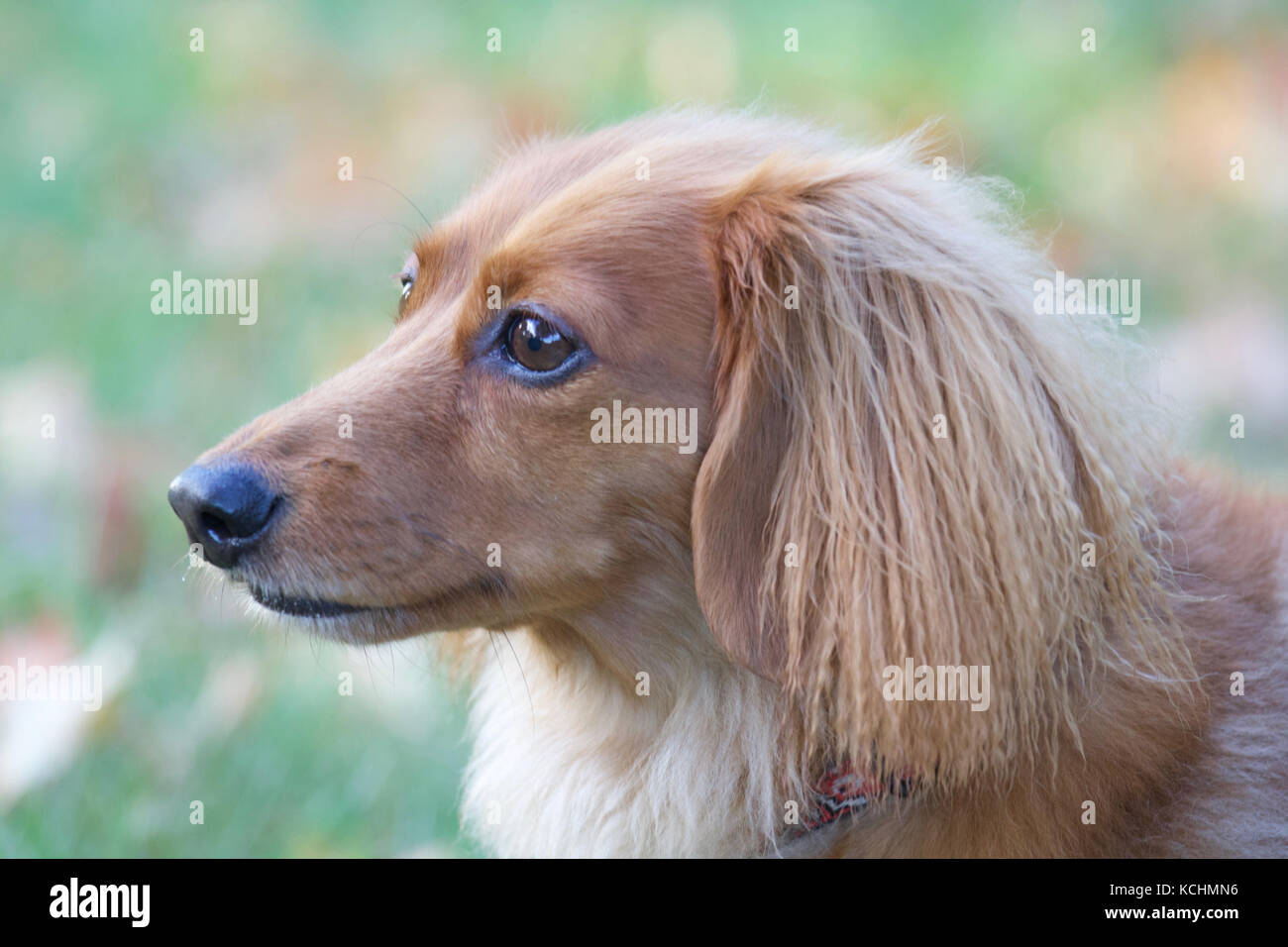 A longhaired dachshund outside in a Fall Stock Photo