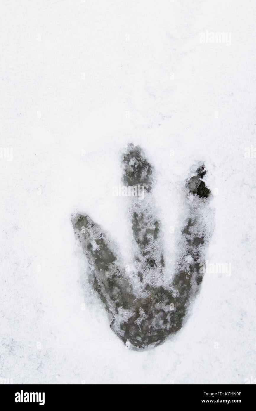 Gentoo Penguin (Pygoscelis papua) footprint in snow - Stock Image