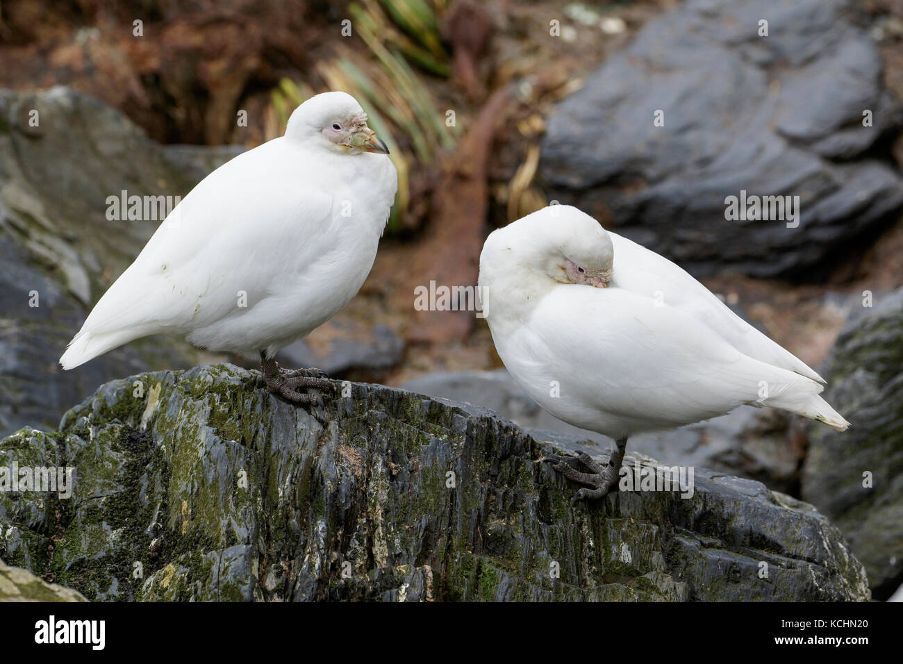 Snowy Sheathbill, Chionis albus, South Georgia Island - Stock Image