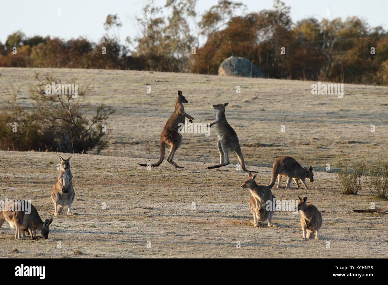 eastern grey kangaroo juveniles sparring - Stock Image