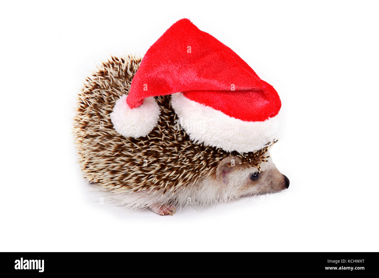 Cute hedgehog with red santa hat on white background. - Stock Image