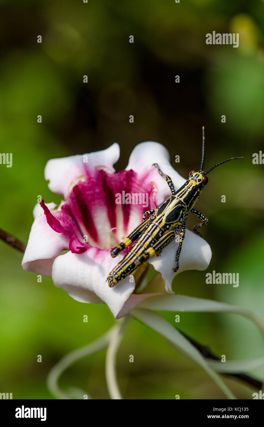 Close-up of black and yellow cricket sitting on beautiful pink exotic flower, Ghana, West Africa - Stock Image