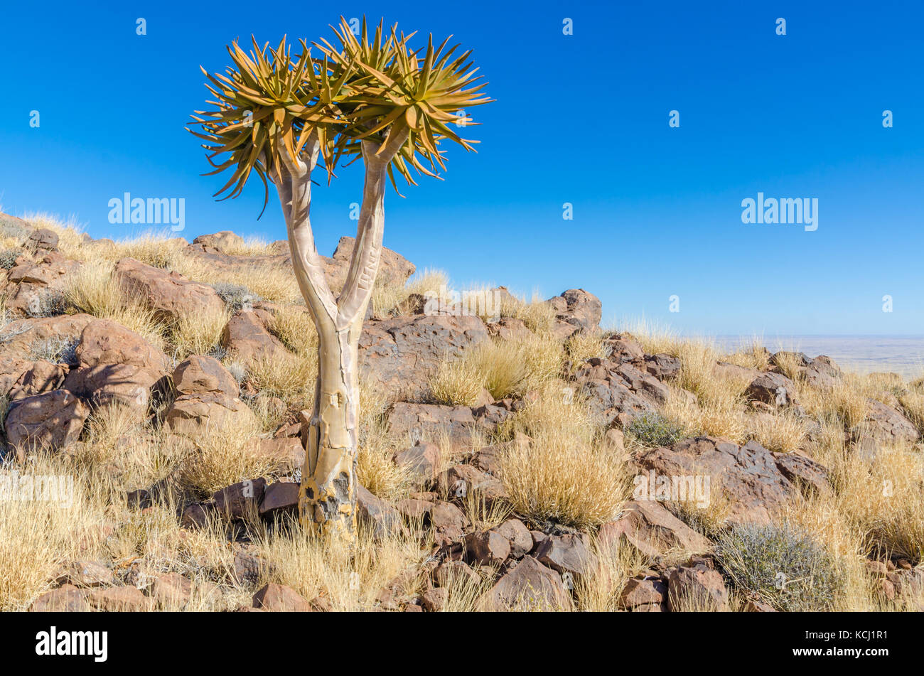 Beautiful exotic quiver tree in rocky and arid Namibian landscape, Namibia, Southern Africa - Stock Image