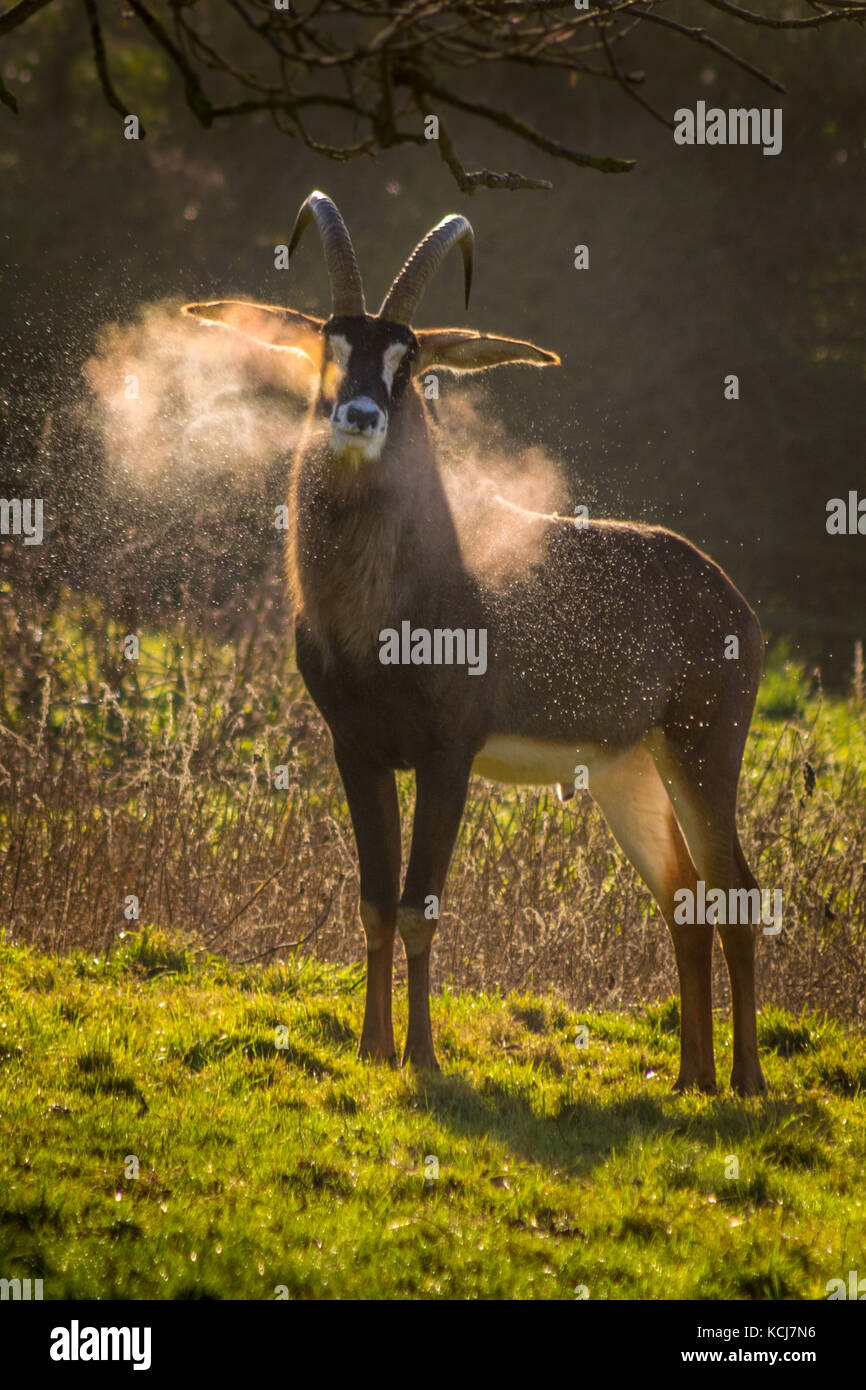 Roan antelope snorting condensation in early morning winter sun - Stock Image