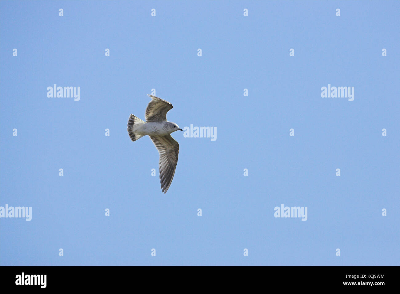 Common gull Larus canus in flight in winter plumage Islay Scotland - Stock Image