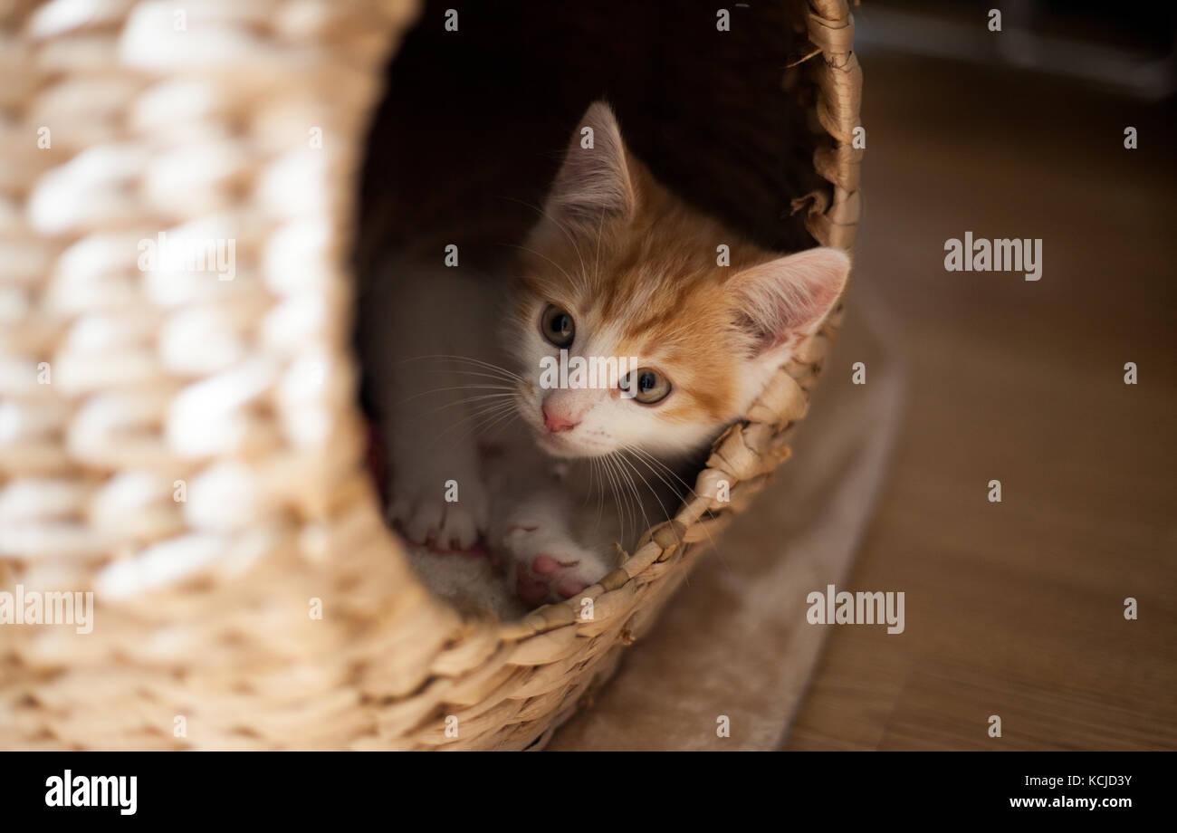 little ginger kitten playing in a wicker pod - Stock Image