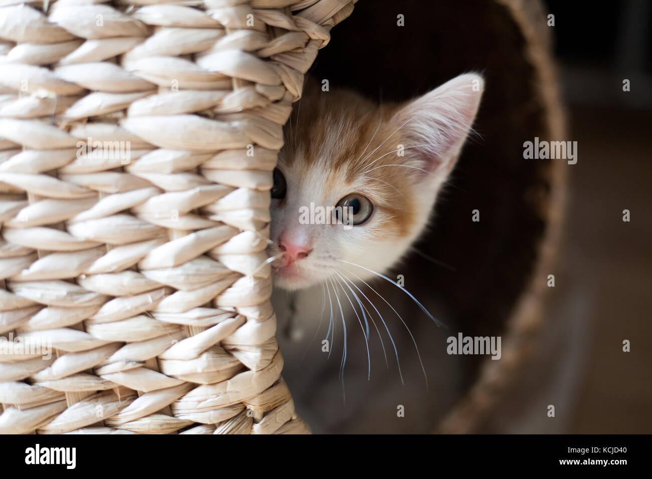 cute ginger kitten peeking out of a wicker pod - Stock Image