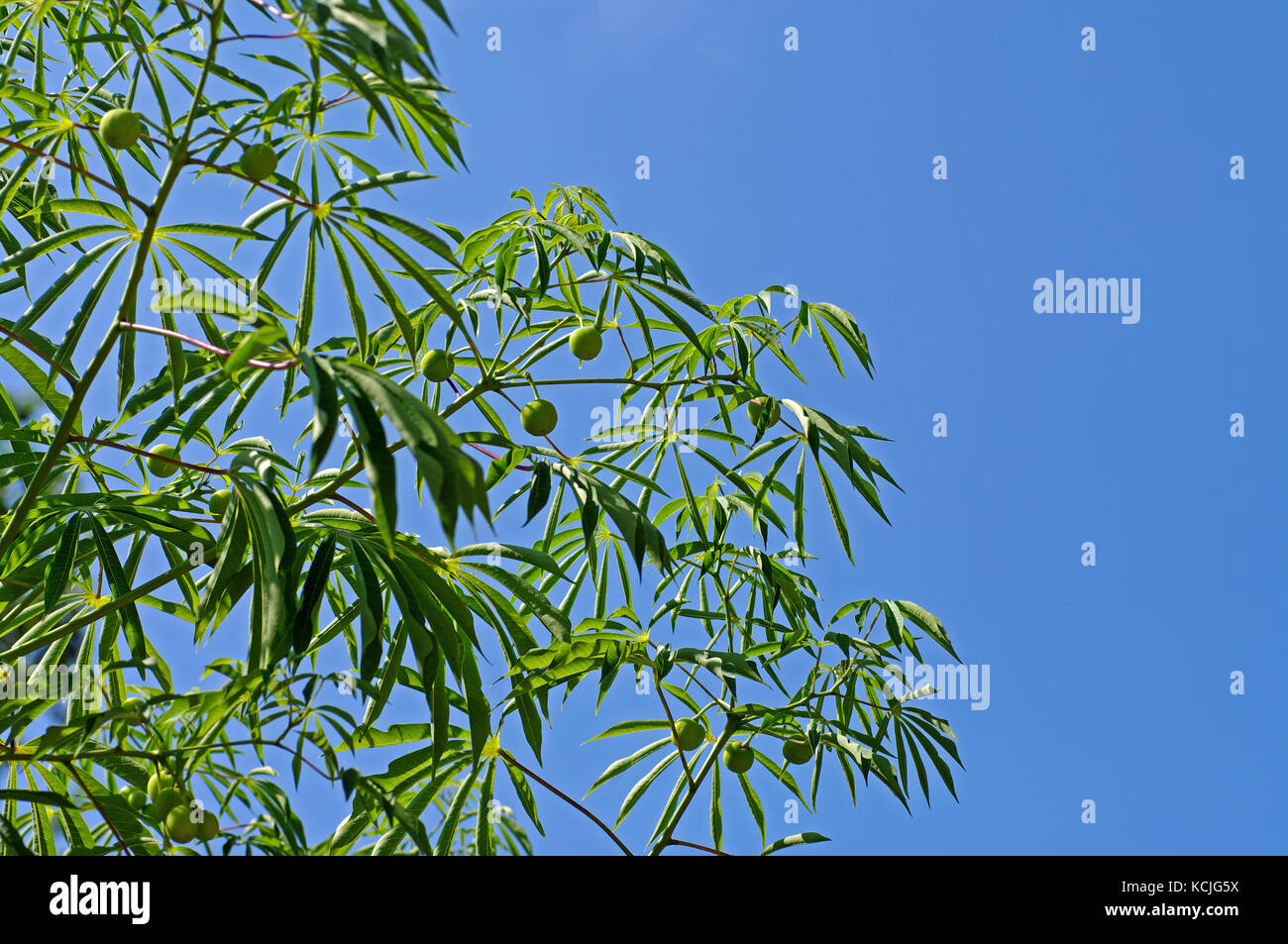 this is Manihot esculenta, the Cassava, crowing also in Europe (Fondi, Italy) - Stock Image