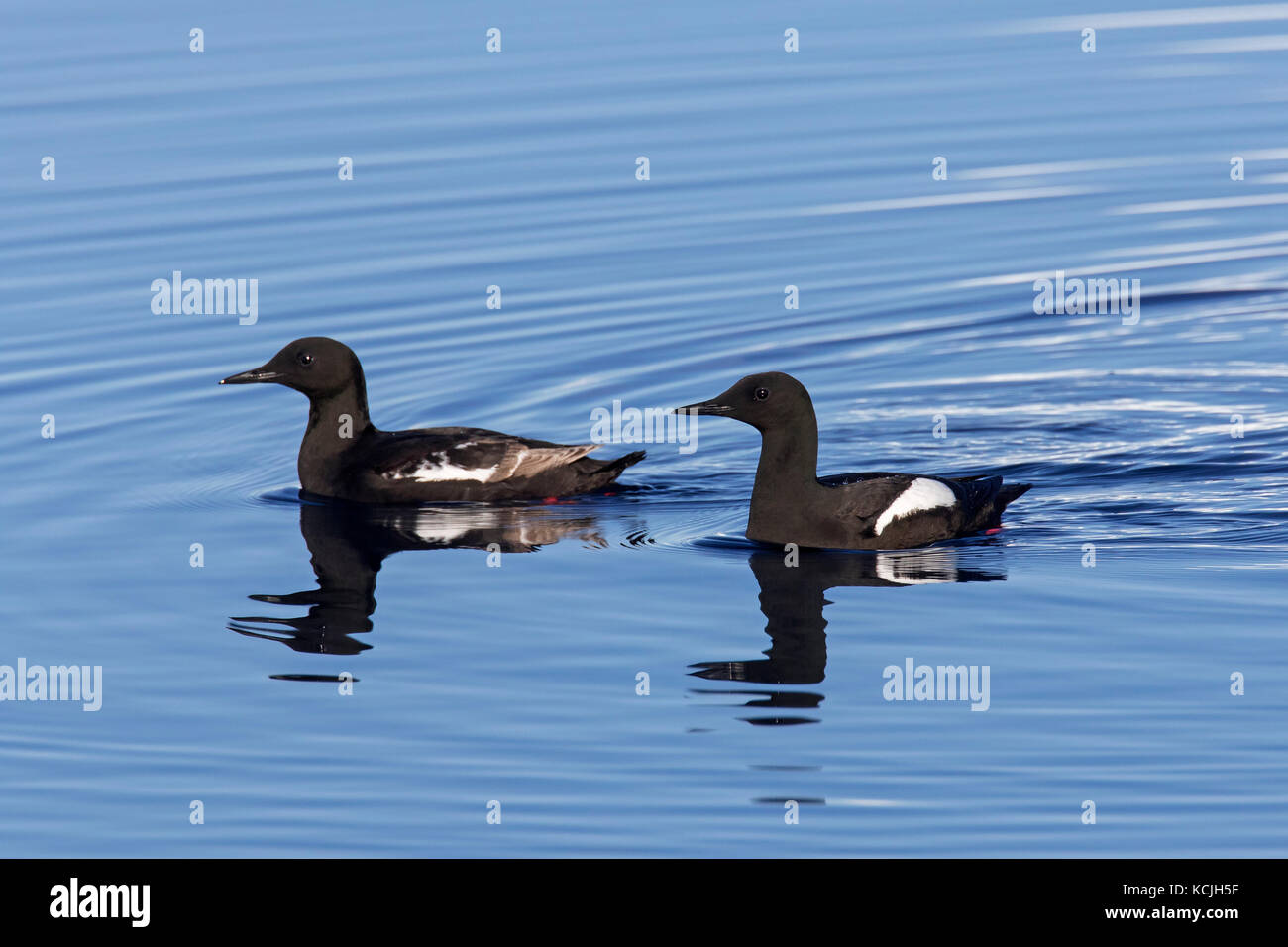 Two black guillemots / tysties (Cepphus grylle) in breeding plumage swimming in sea Stock Photo